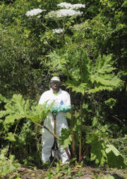 Giant hogweed towers over a well-protected expert. Photo by The New York State Department of Environmental Conservation, CC BY-NC-ND 2.0